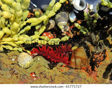 red anemone in a tide pool in australia together with algae and snails