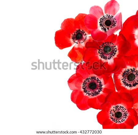 Red anemone on white background with copy space - stock photo