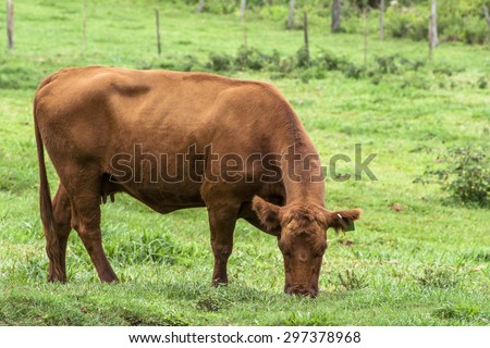 Red angus Cattle - stock photo