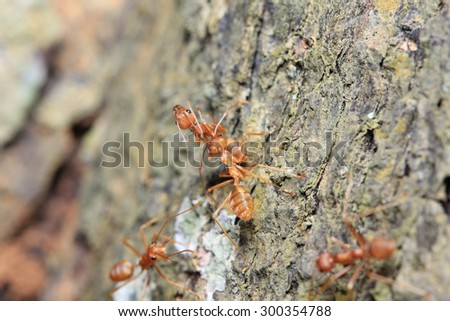 red ant - stock photo