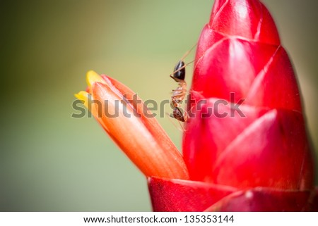 Red Ant and Ginger Flower - stock photo