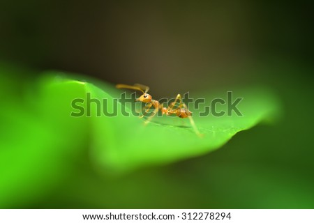 red ant, Close up - stock photo