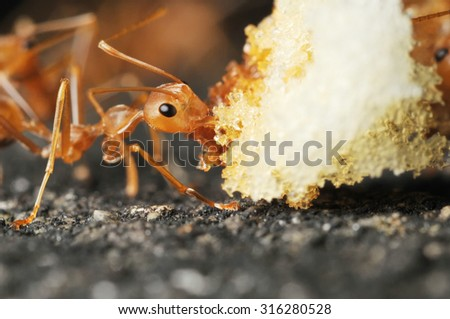 Red ant eating an bread, Close up - stock photo