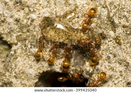 Red ant eating honey
