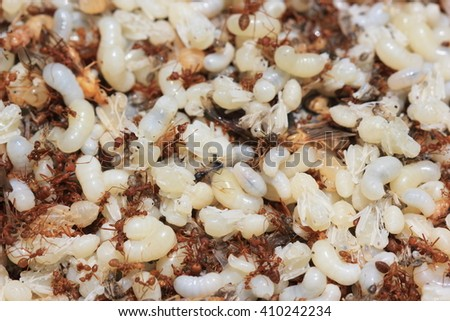 Red ant, Green tree ant, Weaver ant and Ant eggs for thai food ingredients for background - stock photo