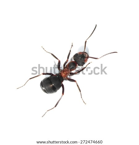 red ant isolated on white background (Formica rufa), red wood ant, southern wood ant or horse ant - stock photo