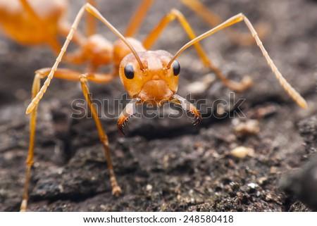 Red ant macro - stock photo