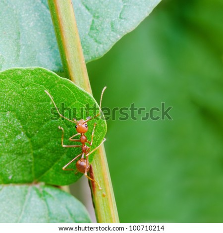 Red ant on a leaf. - stock photo