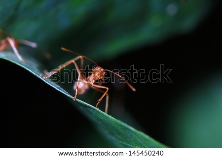 Red ant on a leaf - stock photo