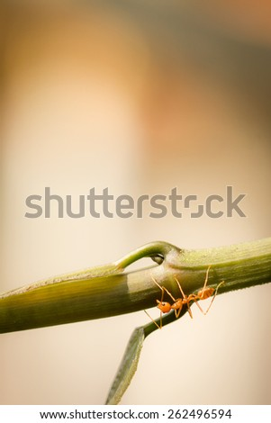 Red ant on green leaf. working, Foraging. - stock photo