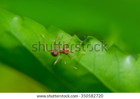 Red ant on green leave. Scientific name Oecophylla Smaragdina