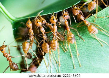 red ant teamwork  - stock photo
