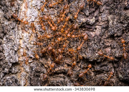 red ant teamwork,Ants trying to rip apart an insect - stock photo