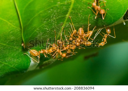 red ant teamwork in the nature,ecology of ant - stock photo