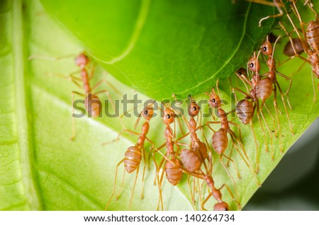 red ant teamwork on green leaf building home - stock photo