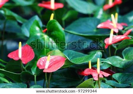 red anthurium flower. - stock photo