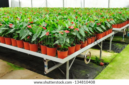 Red anthurium flowers grow in greenhouse