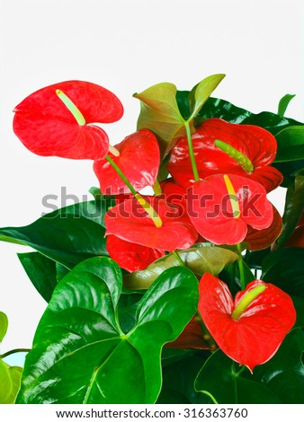 Red anthurium flowers isolated on white background - stock photo