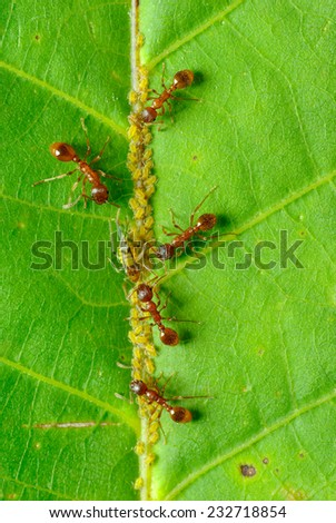 Red ants and aphids. Ants aphids grow - stock photo