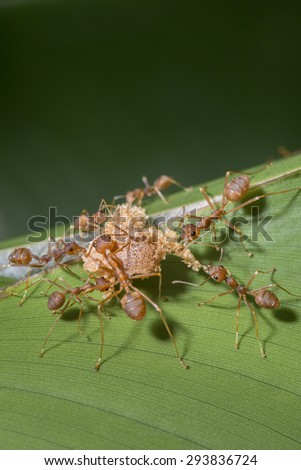 Red ants attacking food - stock photo