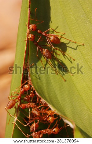 red ants,building ant's nest - stock photo
