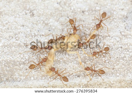 Red Ants Carrying dried body of insect - stock photo