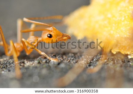 Red ants eating bread, Close up - stock photo