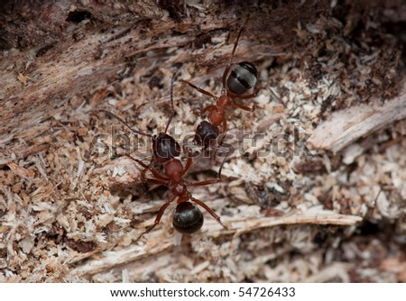 red ants, formica rufa