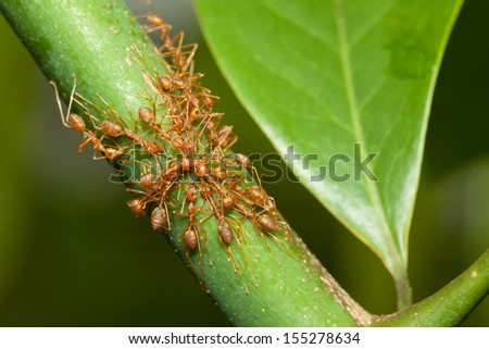 Red ants help together to catch prey, teamwork concept - stock photo