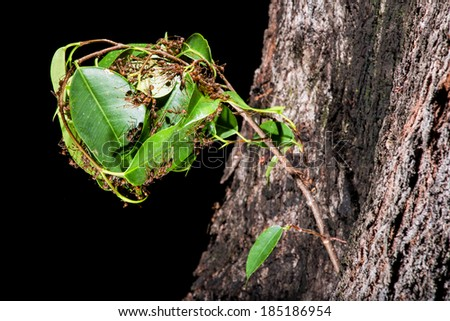 Red ants nest using tree seedling - stock photo