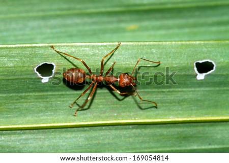 Red ants on leaf - stock photo