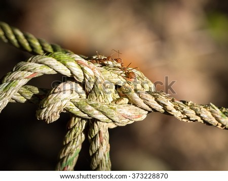 Red ants on the old rope and bokeh on background - stock photo