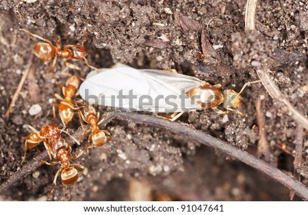 Red ants, queen and workers - stock photo