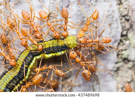 Red ants. Red Weaver Ants tearing their prey apart. Red weaver ants.Red weaver ants teamwork.Red ants team work - stock photo