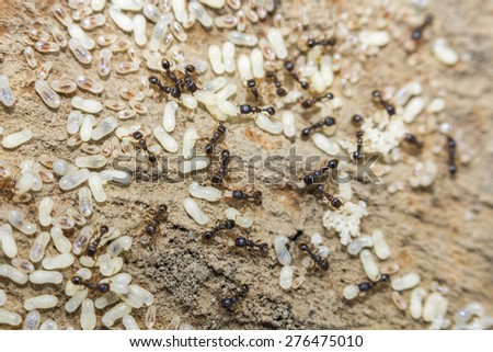 Red ants tend their eggs in macro photo - stock photo