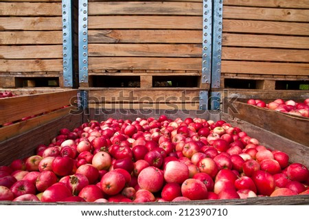 Red apple collection in wooden boxes during harvest - stock photo