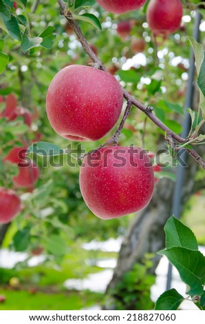 Red apple growing on tree. - stock photo