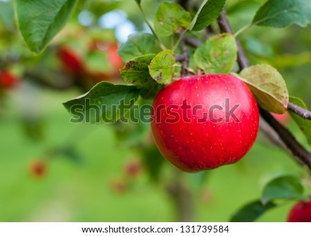 Red apple growing on tree. Shallow DOF - stock photo
