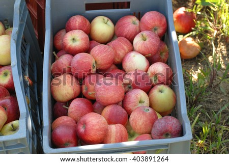 red apple harvest in a crate
