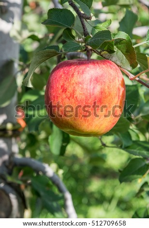 Red apple in garden
