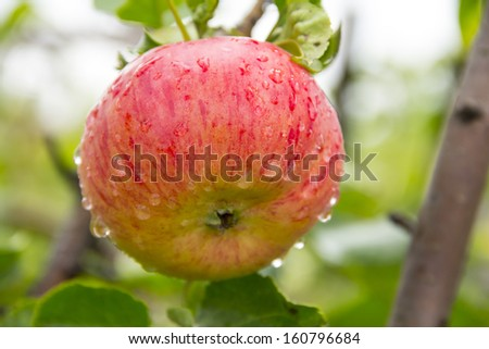 red apple on a tree - stock photo