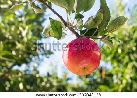 Red apple on apple tree branch - stock photo
