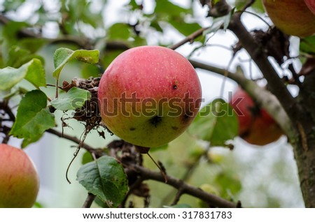 Red apple on the tree