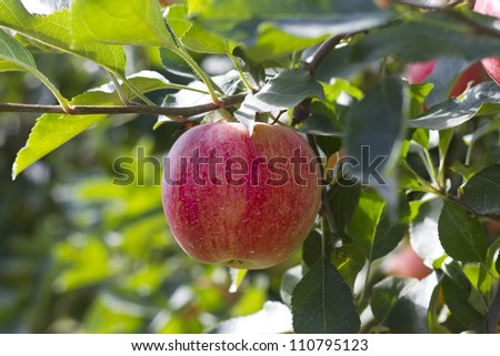 Red apple on the tree about to be collected