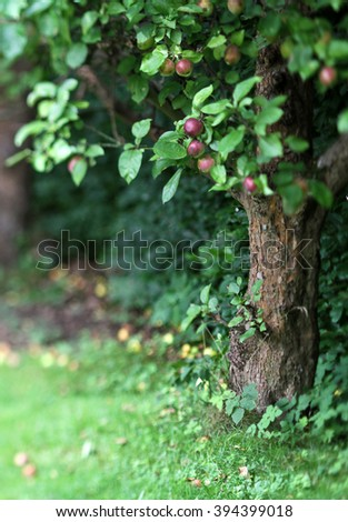 Red apple tree shot with tilt and shift lense - stock photo