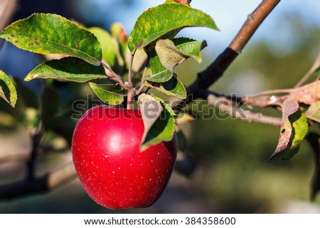 Red apple with lives on apple tree branch in autumn harvest. Ripe juicy apple on the apple tree in fall. - stock photo