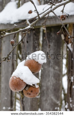red apples covered with snow in winter and are hanging on a tree branch - stock photo