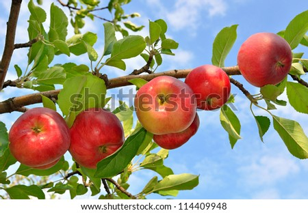 Red apples grows on a branch among the green foliage against a blue sky - stock photo