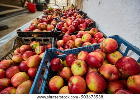 Red apples in plastic crates, ready for the market