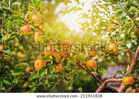 Red apples on apple tree branch, bright rays of the sun - stock photo
